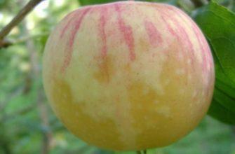 Яблоня Медовое
