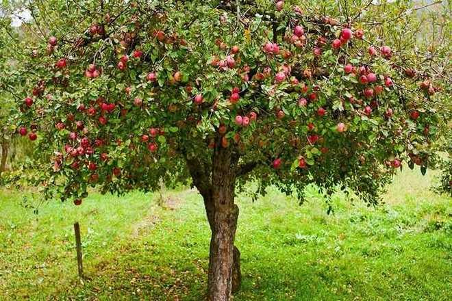 Дерево взрослой яблони