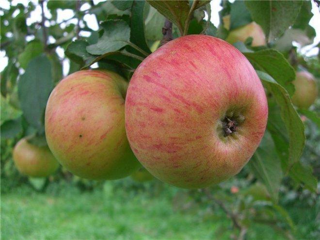 Яблоки сорта Медовое