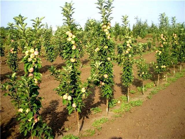 Яблоня колоновидного сорта