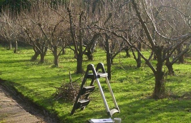 Яблони у которых провели обрезку