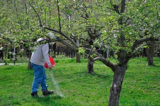 Подкормка яблони