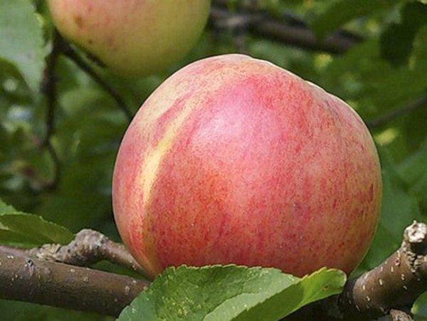 Зрелое яблоко