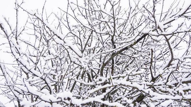Яблоня зимой