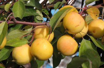 Яблоня Папироянтарное