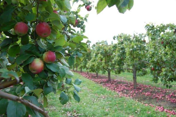Естественный стланец яблони