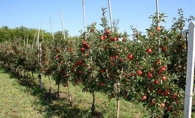 Сад полукарликовых яблонь