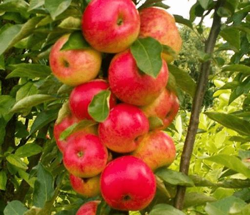 Яблоня перед сбором урожая