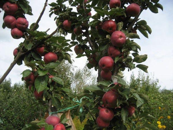 Яблоня со спелыми плодами