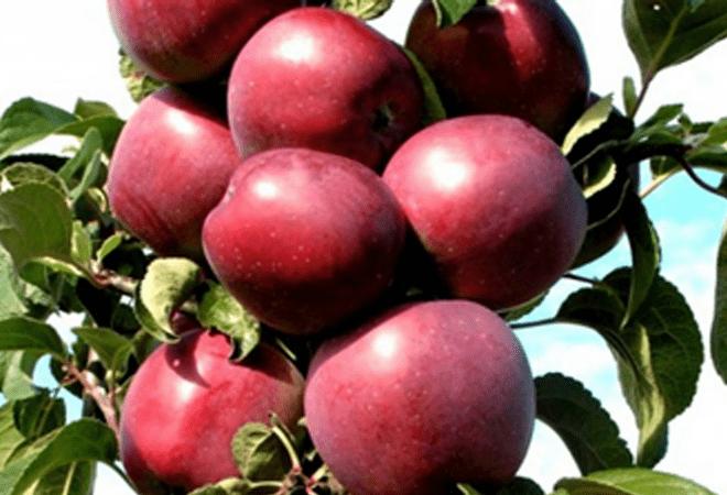 Яблоня Червонец