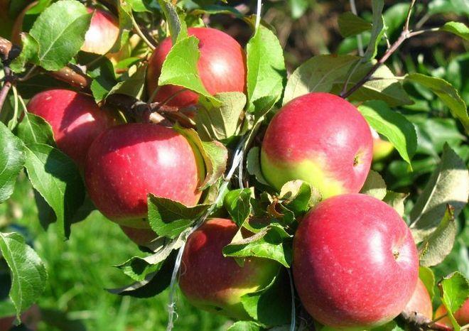 Летняя яблоня