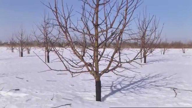 Яблоня в зимнюю пору года