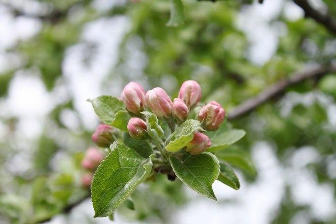 Цветки яблони расцветают