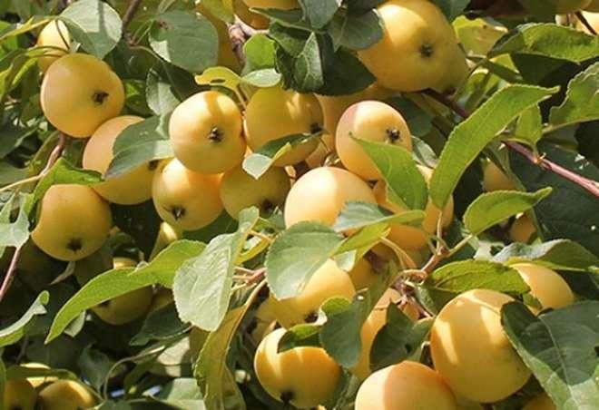 Яблоня со спелыми яблоками