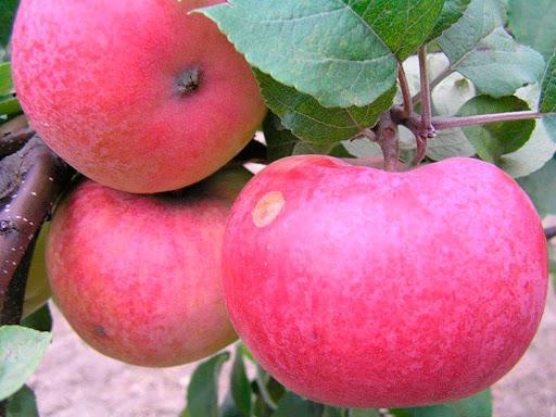 Розовый Аркад