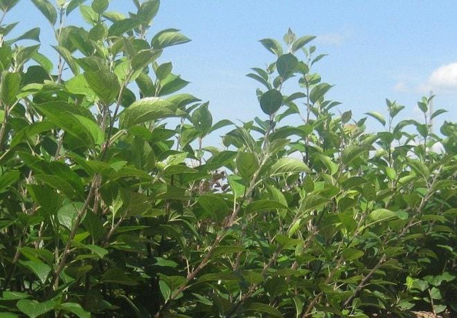 Яблоневые подвои