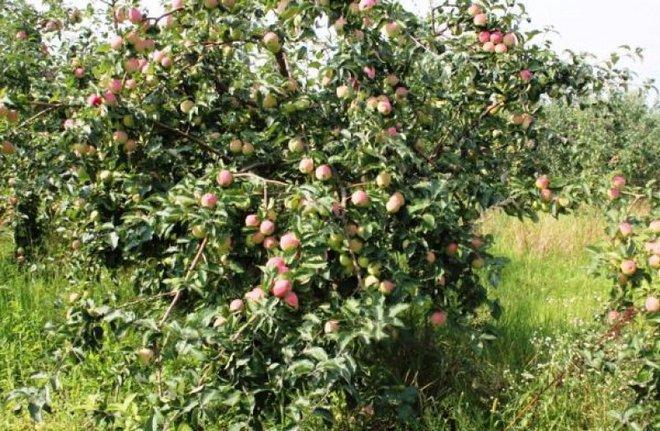Полукарликовая яблоня