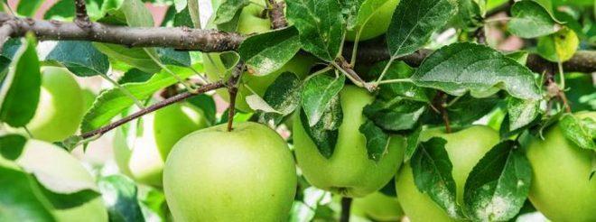 Яблоня в Подмосковье