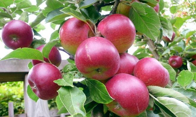 Яблоки Звездочка