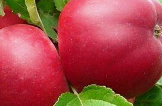 Сорт яблок Веньяминовское