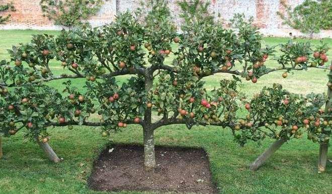 Яблоня стелющегося вида