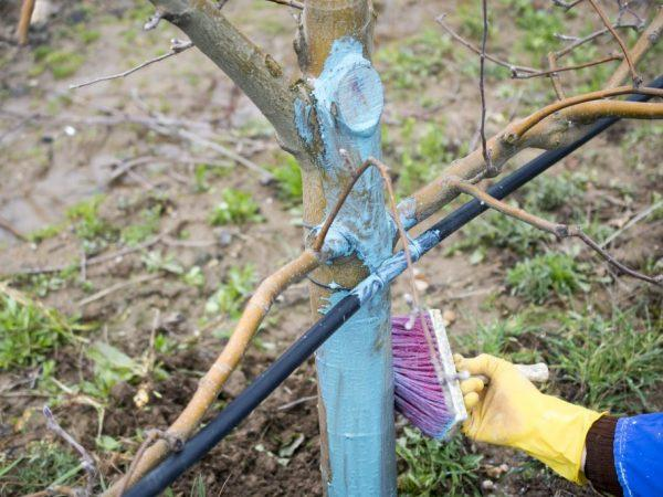 Обработка повреждений яблони