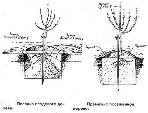 Иммунный сорт яблони Зарянка: описание и фото