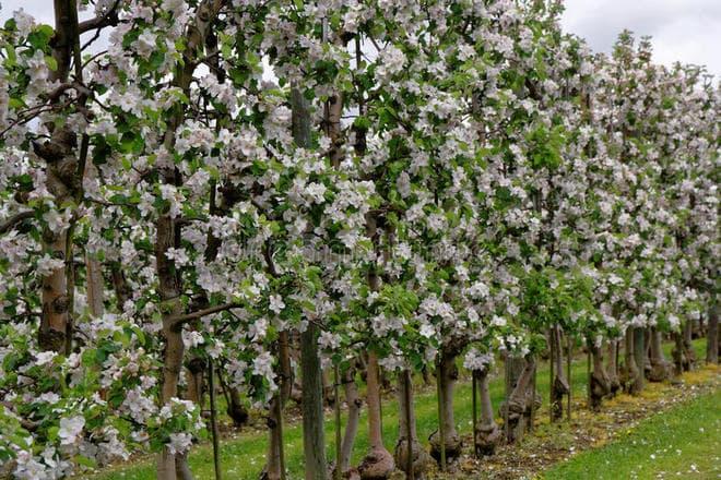 Групповая посадка яблонь