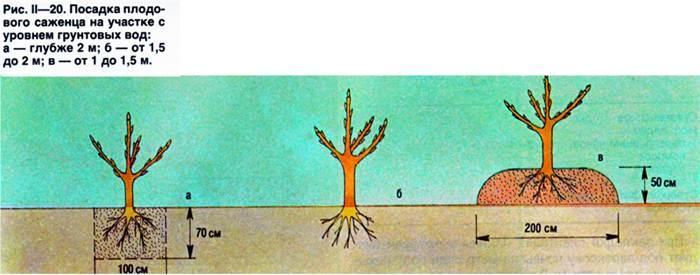 Как посадить яблоню осенью: пошаговая инструкция для новичков