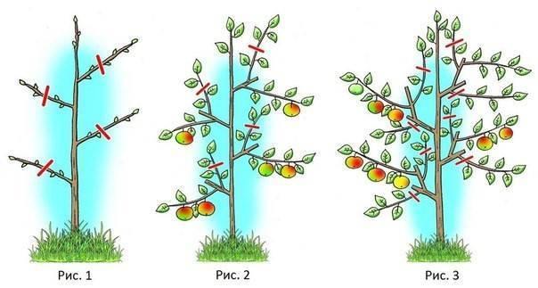 Обрезка колоновидной яблони