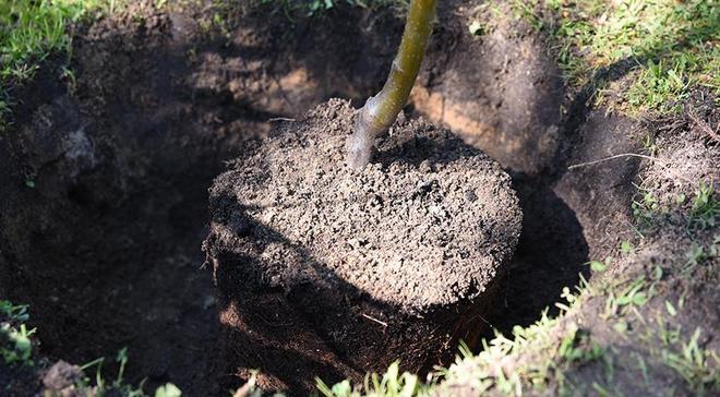 Процесс посадки яблони