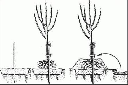 Схема пересадки яблони