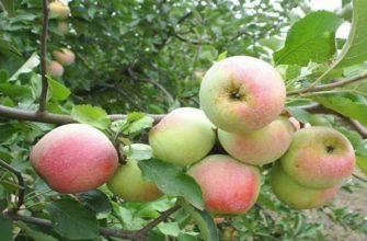 Яблоня Аленушкино.