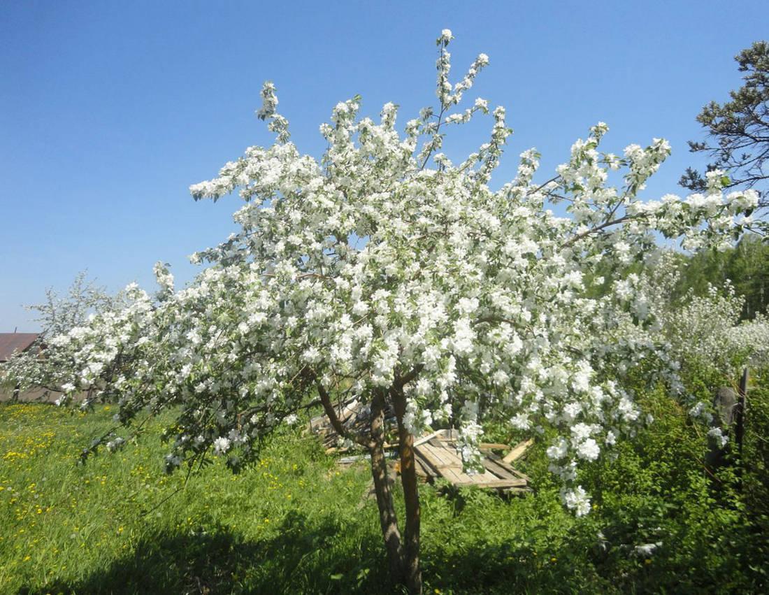 Цветение карликовой яблони.