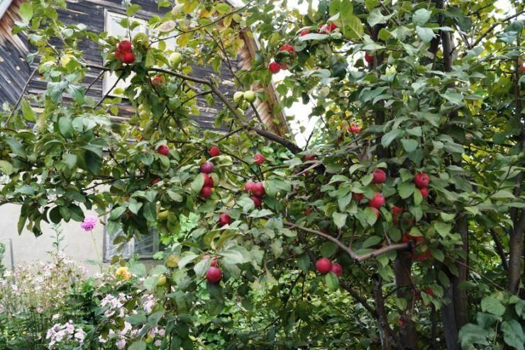 Дерево Красная Горка