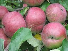 Яблоки флагман.