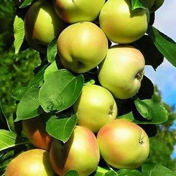 Сорт яблок Болеро: самая урожайная колонна