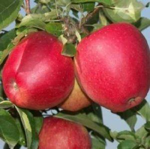 Яблоки Эвелина.