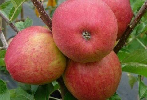 Сорт яблони Эвелина.