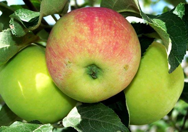 яблоки Воргуль