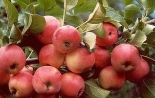 Плоды Жар-птица.