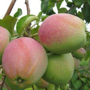 Яблоки Горный синап.