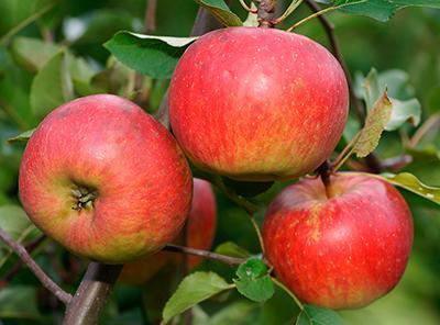 Сорт яблок лето красное.