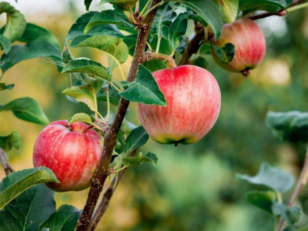 Яблоня уральское розовое.