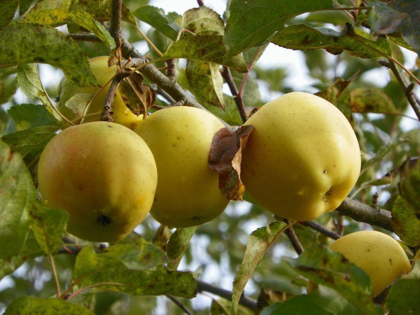 Яблоки Голден Раш: наливные, румяные, долго хранящие свои качества