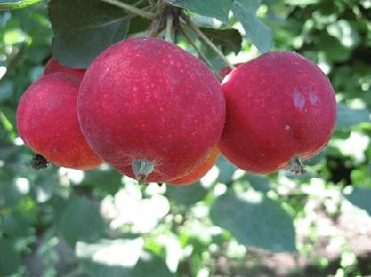 Сорт яблони алтайское багряное.