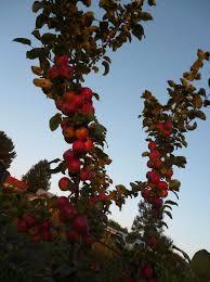 Яблоня сорта Алтайское багряное.