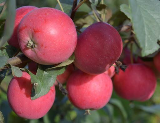 сорт яблони антоша.
