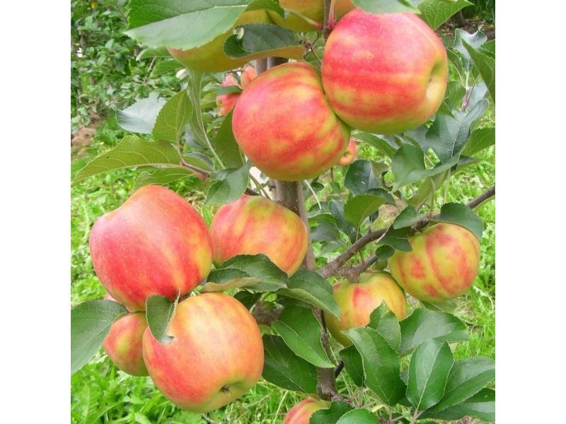сорт яблони карнавал.