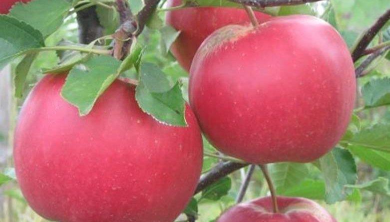 Сорт яблок Лада.